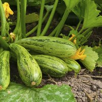 My Zucchini Is Rotting On The Vine Ehow