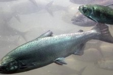 Chinook Salmon invade the rivers of Grays Harbor County every year to spawn.