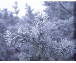 What adaptations do the pine trees have