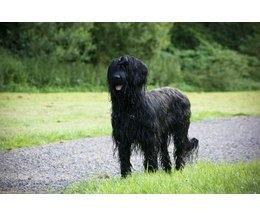 Recherches associees a big black shaggy dog breeds