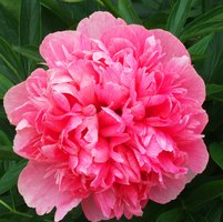 How to care for a rhododendron 7 steps ehow for How to care for rhododendrons after blooming