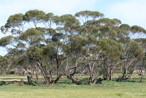 Varieties Of Eucalyptus Trees With Round Leaves Ehow