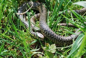 How To Get Rid Of Garter Snakes Ehow