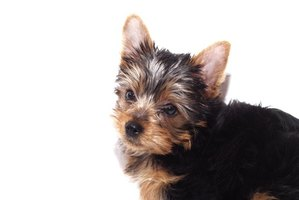My Yorkie Will Not Eat Dog Food