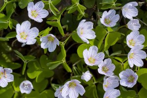 How to care for a shamrock houseplant with pictures ehow - Shamrock indoor plant ...