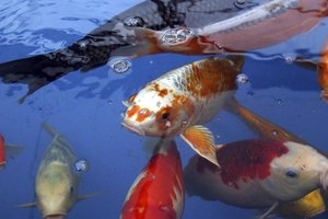 How to care for koi fish in an aquarium ehow for Koi fish care
