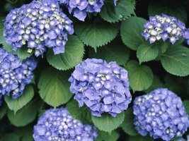Care Of Hydrangea Plants In Orlando Florida Ehow