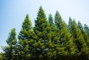 Different Kinds Of Pine Trees In California Ehow