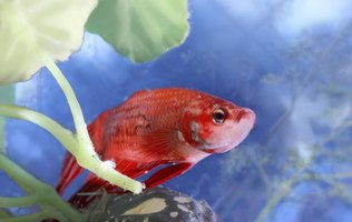 How To Decorate Betta Fish Bowls Using Plants Ehow