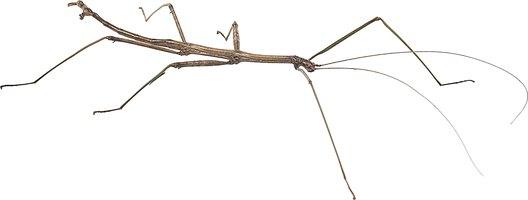 how to make a stick bug model  4 steps