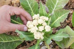 How To Grow Cauliflower Ehow