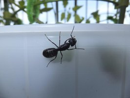 how to get rid of large black ants in the house ehow
