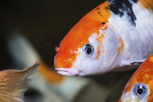 How to care for koi fish in an aquarium ehow for Koi fish maintenance
