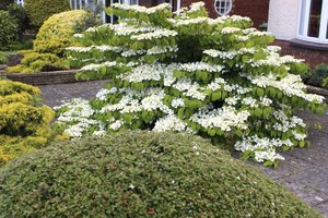 Growth Rate For Sweet Viburnum Ehow