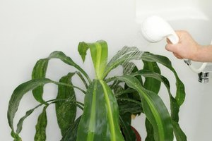 Showering the corn plant helps keep its leaves clean and free of dust Corn Plant Dracaena Leaf