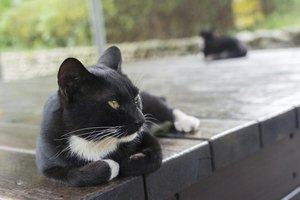 What is the origin of tuxedo cats thumbnail