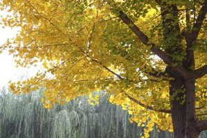 Ginkgo Tree Facts Ehow