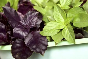 how to grow purple basil