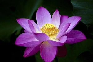 How To Grow A Lotus Plant Ehow