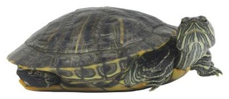 Red-eared sliders and other semi-aquatic turtles make great pets.