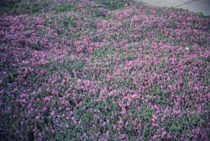 The best low shrub with color ehow for Low growing flowering shrubs