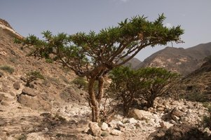 how to grow frankincense from seed