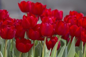 The Best Time To Plant Tulip Bulbs In Wisconsin Ehow