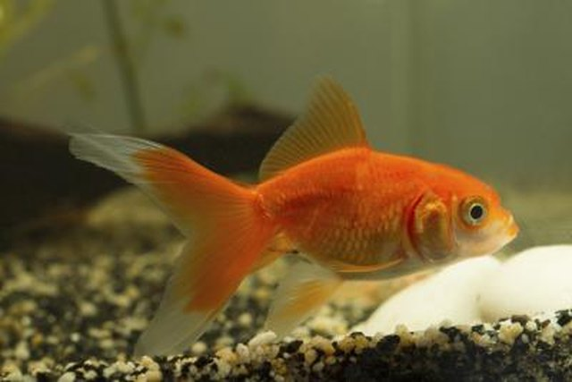 What are the causes of brown skin spots on goldfish ehow for Golden fish pipe