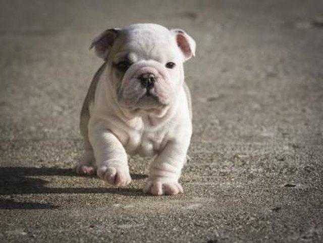 Olde English Bulldogge vs. English Bulldog (with Pictures)   eHow