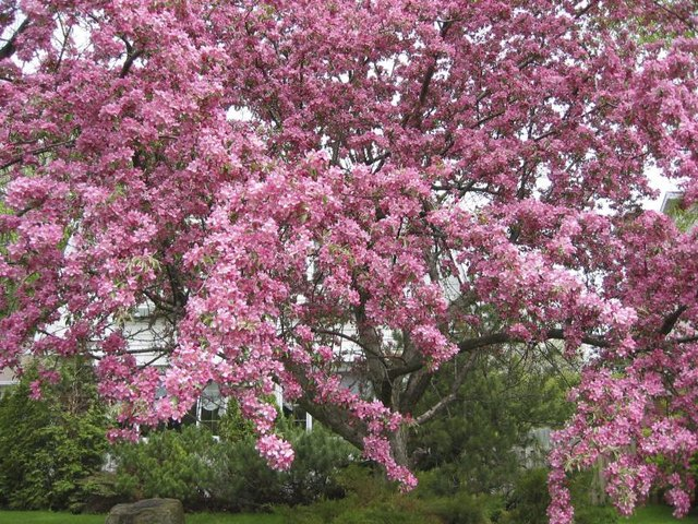 Crabapple Tree Identification (with Pictures) | eHow