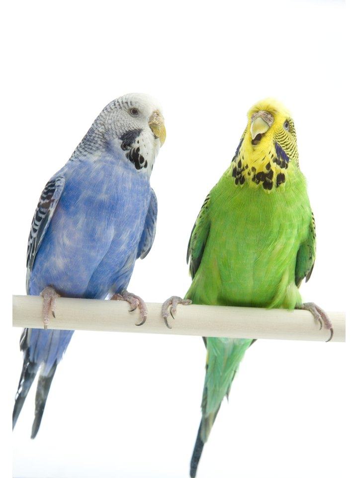 How to Build a Budgie Aviary