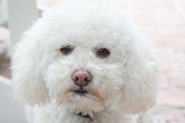 Tear Staining Dogs Home Remedies