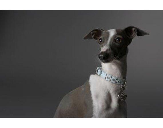 How to Housebreak an Adult Italian Greyhound