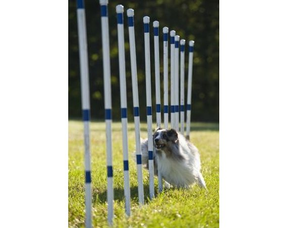 What Is a Double Q in Dog Agility?