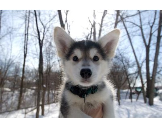 Why Is My Siberian Husky Puppy Biting & Nipping?