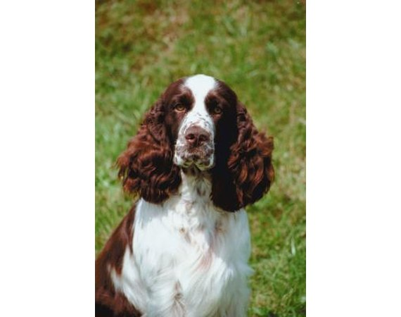 How to House Train an English Springer Spaniel