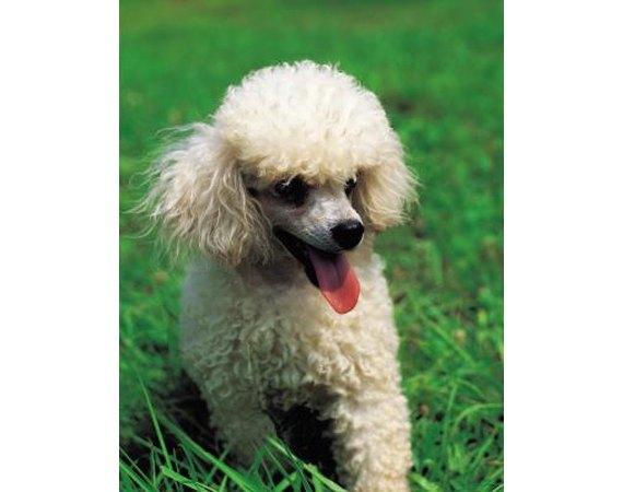 How to Train Mini Poodles