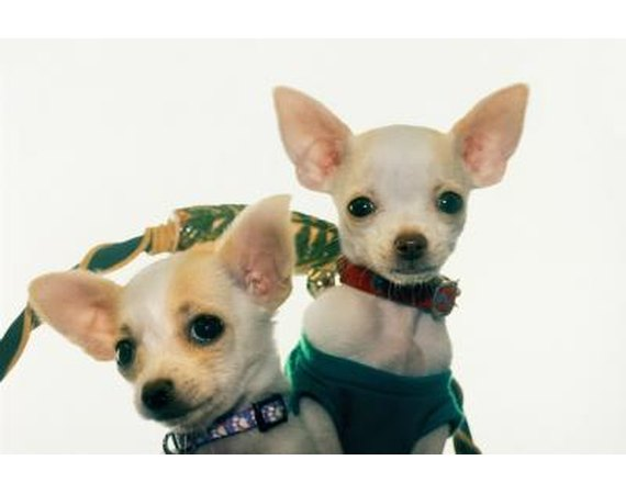 Training Chihuahuas With Praise & Affection