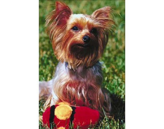 How to Get Your Yorkie to Stop Whimpering