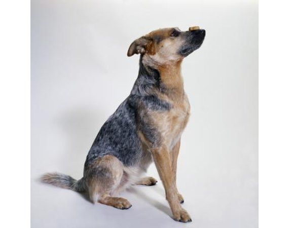 Training a Heeler Dog to Stop Nipping