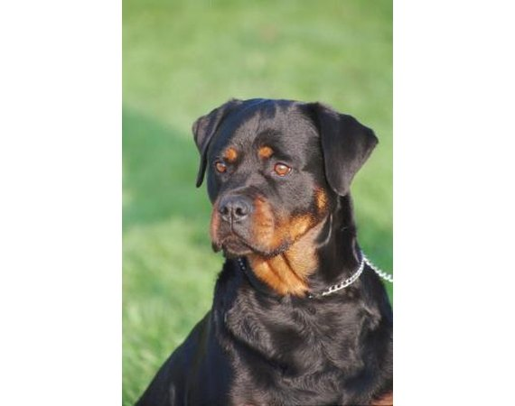 How to Train Male Rottweilers to Come