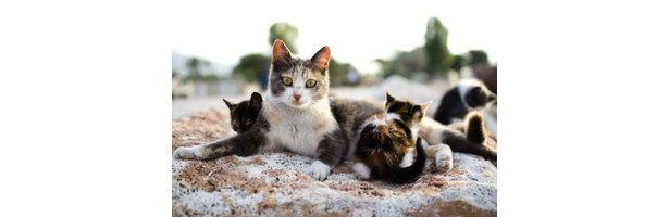 Problems With Inbreeding Cats Ehow