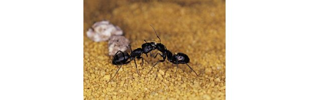 How to Get Rid of Ants the Safe (and Cheap) Way