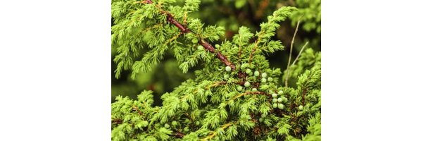 How to Stop Juniper Bushes From Turning Brown thumbnail