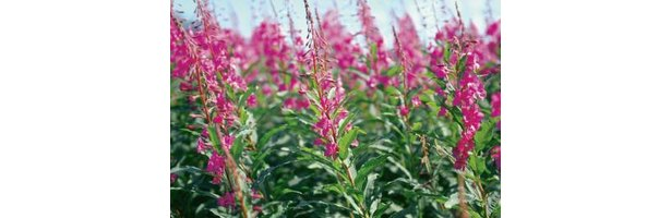When Does Fireweed Bloom In Washington State Ehow