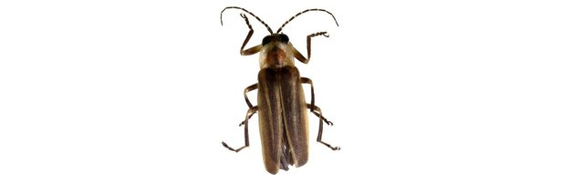 List of Nocturnal Flying Insects | eHow - photo#14