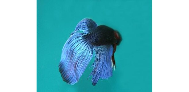 Betta fish care page 182 for Betta fish life span