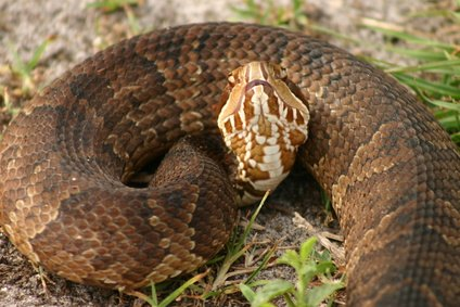 Water Moccasin Snake Information eHow.com