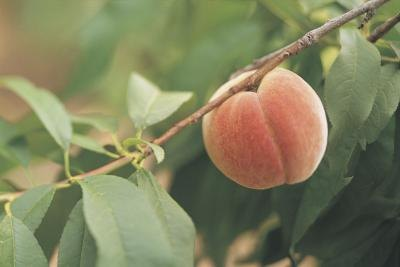 How to Grow a Peach Tree from Seed thumbnail