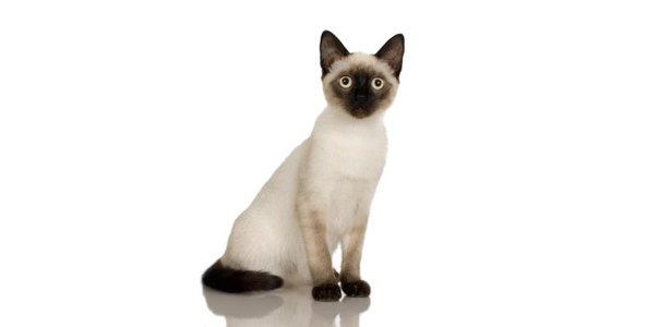 The Characteristics of Siamese Cats thumbnail